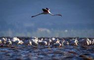 آغاز سراسری سرشماری زمستانی پرندگان آبزی و کنار آبزی