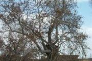 درخت چنار کهنسال روستای انار در مشگینشهر به ثبتملی میرسد