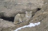 مشاهده دو قلاده گربه وحشی در شهرستان آوج
