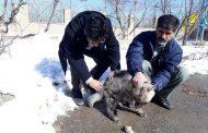 نجات یک قلاده کفتار در شهرستان آوج