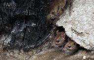 تکنیسین موش و شبهای شکار