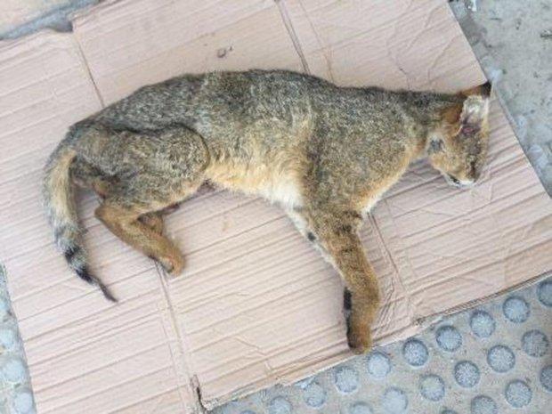 کشف لاشه یک گربه جنگلی در بجنورد