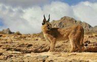 گربه وحشی در تالاب کانی برازان مهاباد+طنز رادیویی