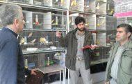 پایش مراکز عرضه و فروش پرندگان زینتی در تاکستان