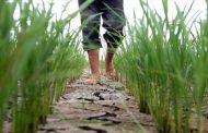سایه غول خشکسالی بر سر شالیزارهای مازندران