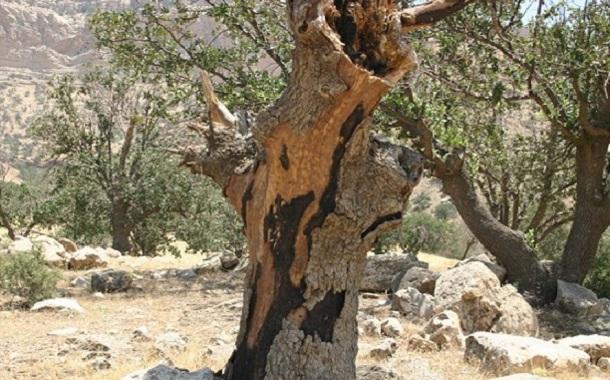 درخت بلوط کیلویی چند؟