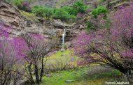 درختچههای ارغوان پیامآور بهارند