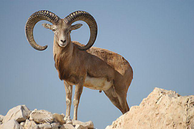 قوچهای کوهستان خرمآباد چگونه از بین رفتند؟