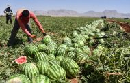 برای تولید یک کیلو هندوانه چقدر آب نیاز است