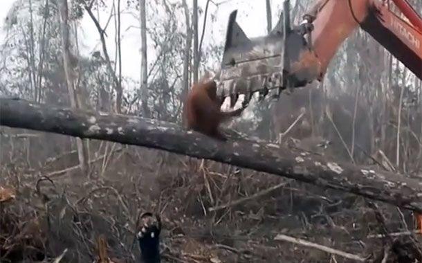 دفاع اورانگوتان از درختی که در آن زندگی میکند