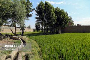 محصول برنج در شهر اصفهان