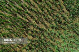کاشت برنج در شهر اصفهان