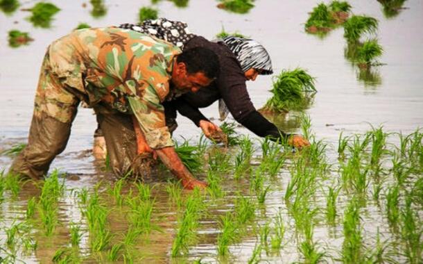کشت برنج در گیلان و مراحل آن