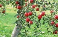 باغ سیب مهرشهر کرج در خطر نابودی