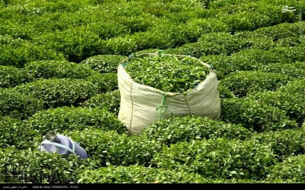چایکاری در لاهیجان و آماده سازی باغ چای