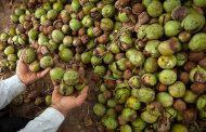 تولید بیش از ۱۴ هزار تن گردو در لرستان
