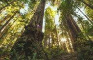 دود قطع درختان سرخدار اول از همه به چشم مردم منطقه میرود