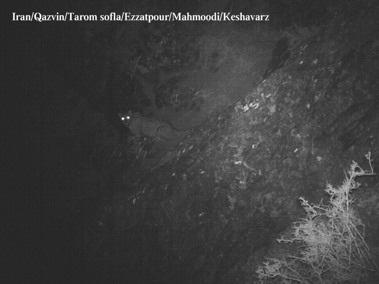 پلنگ در استان قزوین