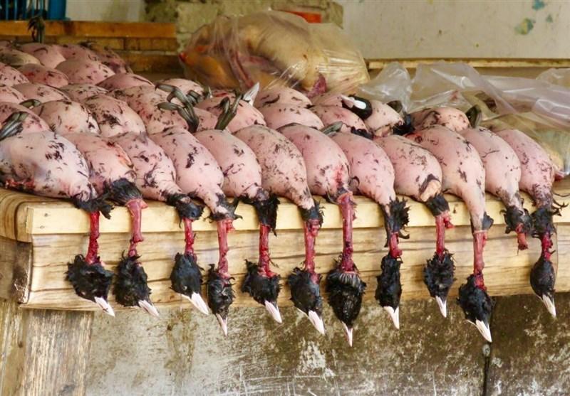 نسل کشی پرندگان مهاجر در تالابهای شمال و جنوب ایران