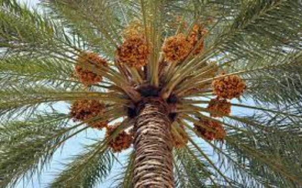 درختان خرما فواید بسیاری دارند و باعث پیدایش صنایع دستی گوناگونی در جنوب کشور شدهاند