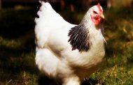 انجمن پرورش دهندگان مرغ معتقدند ۱۱ هزار تومان قیمت مناسبی برای قیمت مرغ است