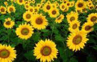 آفتاب گردان گیاهی با خواص دارویی فراوان و مصارف غذایی متنوع
