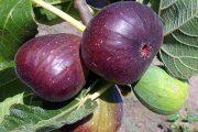 درخت انجیر در جزیره کیش و خواص درمانی برگ و میوه و شیره آن