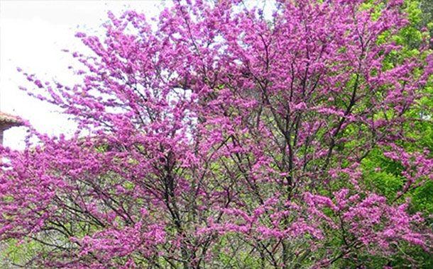گیاه ارغوان درختچهای از تیره نخودیها که در جزیره کیش این درخت را فرگو مینامند