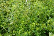 آویشن یا آویشم گیاهی با مزاج گرو و خشک و با خواص درمانی فراوان