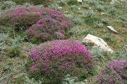 گون گیاهی که تمام فازهای مربوط به فعالیت سیستم ایمنی را تحریک میکند