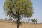 کهور درختی با برگهای پایا و تاجی گسترده برای درمان گزیدگی عقرب