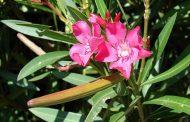 خرزهره گیاهی مقوی قلب که در جزیره کیش به شبرنگ معروف است