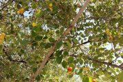 درخت کنار با برگهای آن تخم مرغی و دراز پهن برای درمان گرمی بدن و سلامت چشم