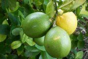 لیمو عمانی بومی هند است که در جنوب و سواحل جنوب و جنوب شرقی فراوان کشت میشود