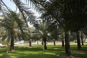 درخت نخل و تمامی قسمتهایی از آن که مصرف دارویی و یا غیردارویی دارد