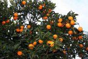 نارنج درختی از تیره مرکبات در مناطق شمالی و جنوبی ایران با مصارف درمانی فراوان