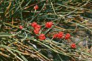 ریش بز گیاهی با نامهای هوم و هوما و اسپره کوهی و ملکه چمنزار و علف داماد