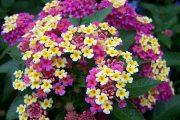 شاه پسند یا گل ماهور گیاهی که خودرو با خواص درمانی عطر خوش