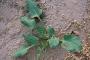 اسپیناسوس یا حنبزان گیاهی یکساله از خانواده ترشک با مصارف درمانی