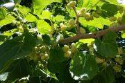 توت میوهای آبدار و ریز و شیرین و لذیذ با مصارف خوراکی و دارویی
