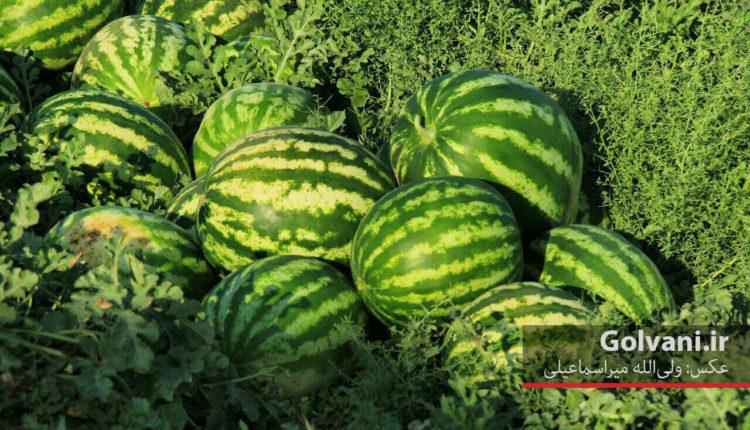 فصل برداشت محصولات جالیزی و هندوانه در خرم آباد