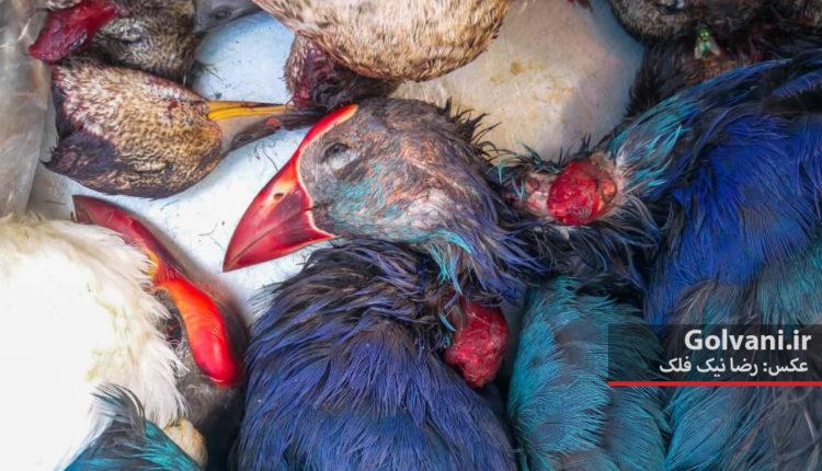 طاووسک از پرندگان بومی و حمایت شده