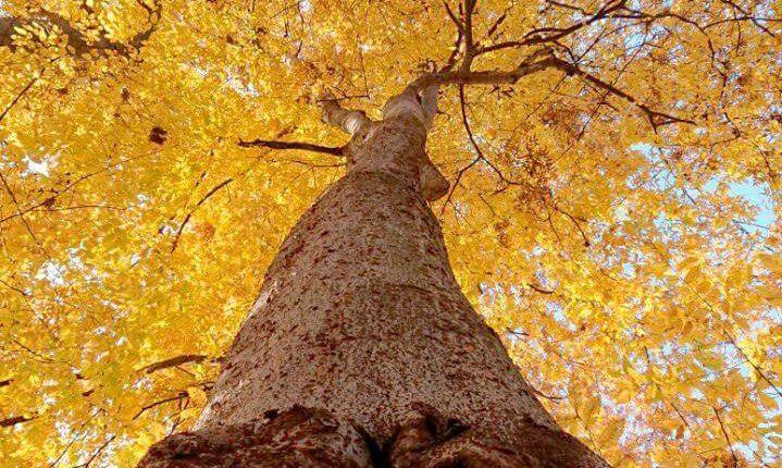 درخت سیاهدار یا آزاد