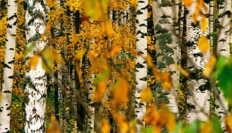 درخت توس یا غان