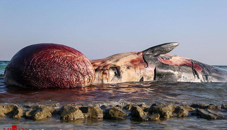 لاشه دومین نهنگ براید در کیش پیدا شد؛ این نهنگ نر است