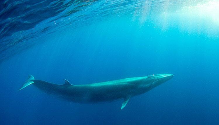 نهنگ باله پشتی