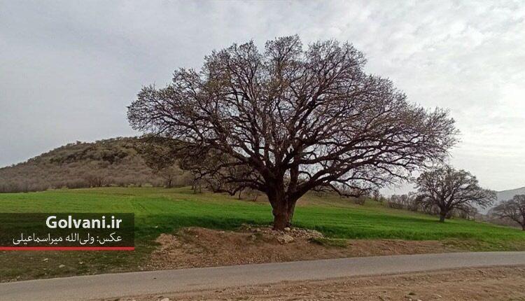 درختان بلوط کهنسال یادگار جنگلهای باشکوه