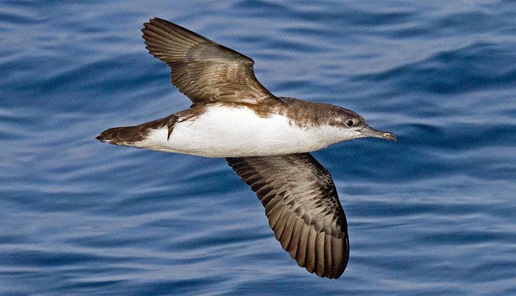 کبوتر دریایی ایرانی محدود شده در جزایر جنوب
