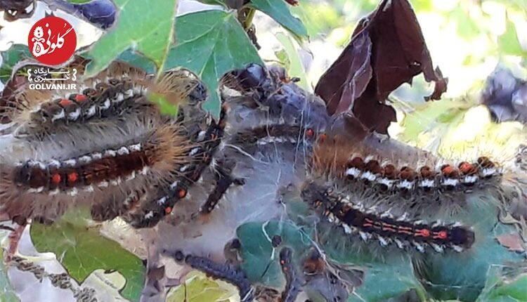 پروانه های دم قهوه ای به بلوط های طارم هجوم بردند