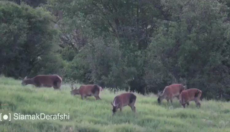 مواجهه با خرس و مرال در جنگل های هیرکانی